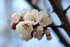 美丽的开花的春天树在乌克兰 库存照片