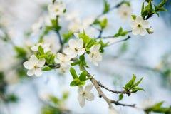 美丽的开花的李子春天结构树 免版税库存照片