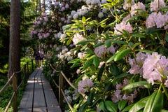 美丽的开花的杜鹃花在公园 库存图片