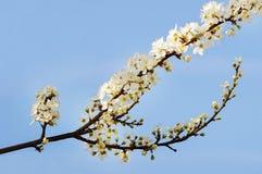 美丽的开花的树 图库摄影