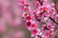 美丽的开花的桃子特写镜头  免版税库存图片