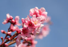 美丽的开花的桃子特写镜头  免版税库存照片