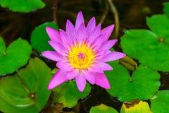 美丽的开花的桃红色百合在池塘 图库摄影