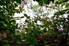 美丽的开花的桃红色紫荆花Purpurea花的关闭 免版税库存照片