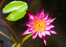美丽的开花的桃红色荷花 免版税图库摄影