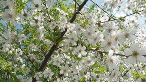 美丽的开花的樱桃树 开花背景 晴朗的日 股票视频