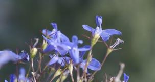 美丽的开花的淡紫色开花摇摆在风 影视素材