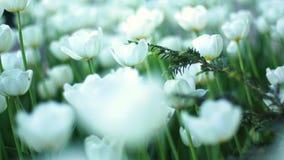 美丽的开花的白花 股票视频