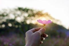 美丽的开花的紫色波斯菊花在妇女手上有日落背景 库存图片