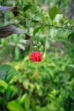 美丽的开花的红色木槿花 图库摄影