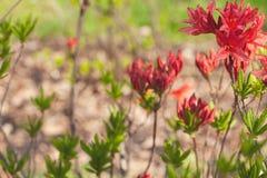美丽的开花的红色花 r 浅景深,被弄脏的背景 免版税库存图片