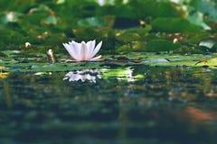 美丽的开花的花-在池塘的浪端的白色泡沫百合 (晨曲的星莲属)自然色的被弄脏的背景 库存图片
