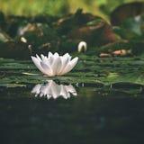 美丽的开花的花-在池塘的浪端的白色泡沫百合 (晨曲的星莲属)自然色的被弄脏的背景 免版税库存图片