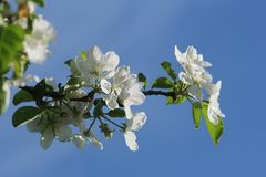 美丽的开花的苹果树反对蓝天的春天 库存图片