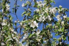 美丽的开花的苹果树反对蓝天的春天 库存照片