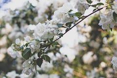美丽的开花的苹果树 与开花的花的背景在春日 r 定调子葡萄酒样式 库存图片