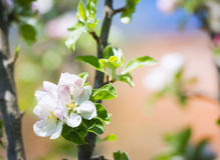 美丽的开花的苹果树 免版税库存照片