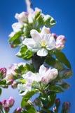 美丽的开花的苹果树 免版税图库摄影