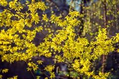 美丽的开花的连翘属植物灌木 图库摄影