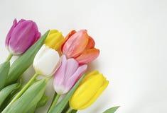 美丽的开花的郁金香花 背景背景卡片设计花卉例证 背景蓝色云彩调遣草绿色本质天空空白小束 与美丽的鲜花的春天背景 库存照片