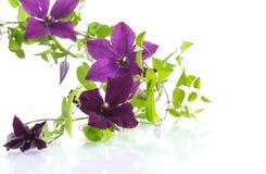 美丽的开花的铁线莲属 免版税库存图片