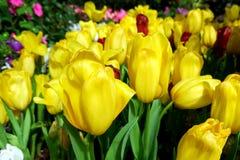 美丽的开花的黄色郁金香花在公园 免版税库存图片