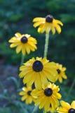 美丽的开花的黑眼睛的苏珊花在庭院里 库存照片