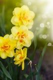 美丽的开花的黄水仙户外 图库摄影