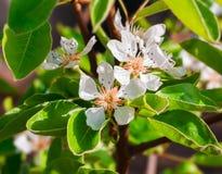 美丽的开花的洋梨树 免版税库存图片