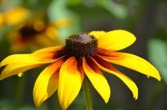 美丽的开花的黑眼睛的苏珊开花 免版税库存照片