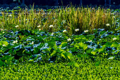 美丽的开花的黄色莲花荷花垫花和其他水厂 库存照片