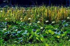 美丽的开花的黄色莲花荷花垫花和其他水厂 免版税库存照片