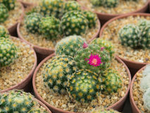 美丽的开花的紫色仙人掌花 免版税库存照片