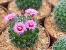 美丽的开花的紫色仙人掌花 库存照片