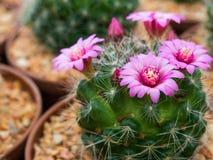 美丽的开花的紫色仙人掌花 免版税图库摄影