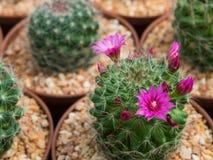 美丽的开花的紫色仙人掌花 免版税库存图片