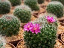 美丽的开花的紫色仙人掌花 库存图片