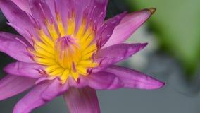 美丽的开花紫色莲花特写镜头 库存照片