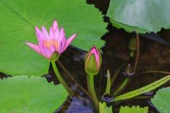 美丽的开花莲花在泰国 免版税库存照片