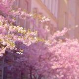 美丽的开花结构树 与太阳的自然场面在晴天 下雨 摘要被弄脏的背景春天 免版税库存图片
