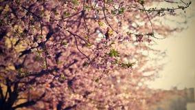 美丽的开花结构树 与太阳的自然场面在晴天 下雨 摘要被弄脏的背景春天 免版税库存照片