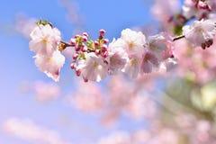 美丽的开花结构树 与太阳的自然场面在晴天 下雨 摘要被弄脏的背景春天 库存照片
