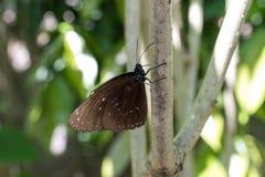 美丽的异乎寻常的热带蝴蝶在巴厘岛,印度尼西亚公园  图库摄影