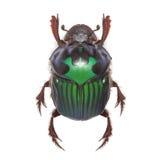 美丽的异乎寻常的甲虫粪Oxysternon conspicillatum 图库摄影