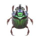 美丽的异乎寻常的甲虫Oxysternon conspicillatum 库存照片