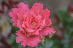 美丽的异常的自然桃红色倒挂金钟的前面顶面摄影上升了 免版税库存照片