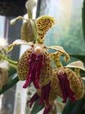 美丽的强烈的兰花花 免版税库存图片