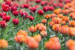 美丽的得奖的红色公主和橙色公主郁金香 库存照片