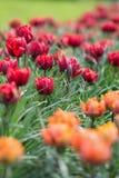美丽的得奖的红色公主和橙色公主郁金香 免版税库存照片