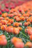 美丽的得奖的红色公主和橙色公主郁金香 免版税图库摄影